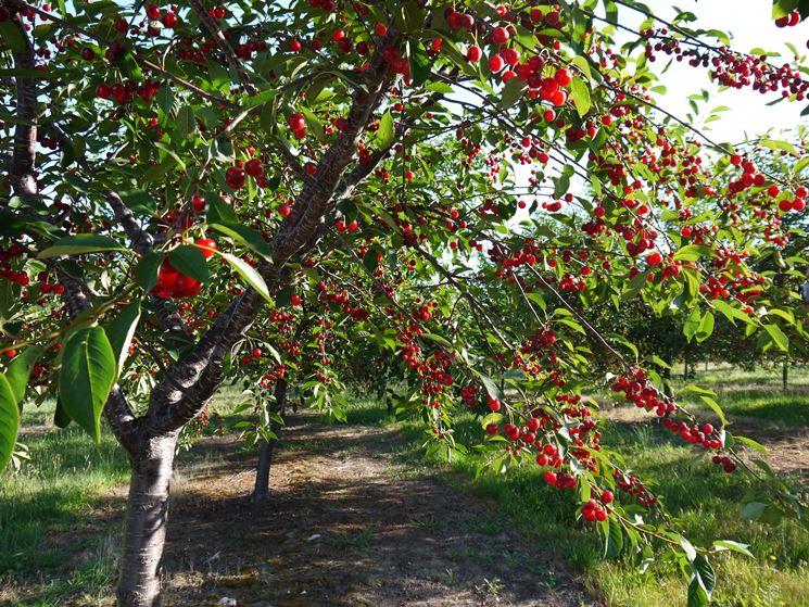 albero di ciliegio frutti minori albero di ciliegio