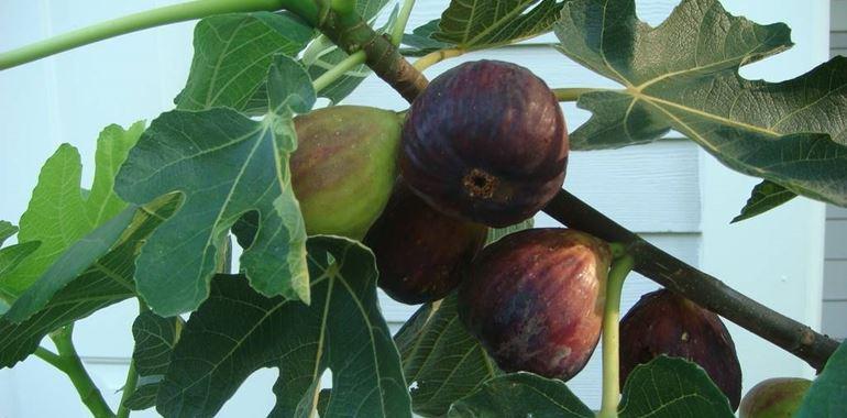 <h6>Albero di fico</h6>Vuoi ottenere frutti saporiti e sani? Impara a coltivare i tuoi alberi di fico al meglio con i nostri consigli!