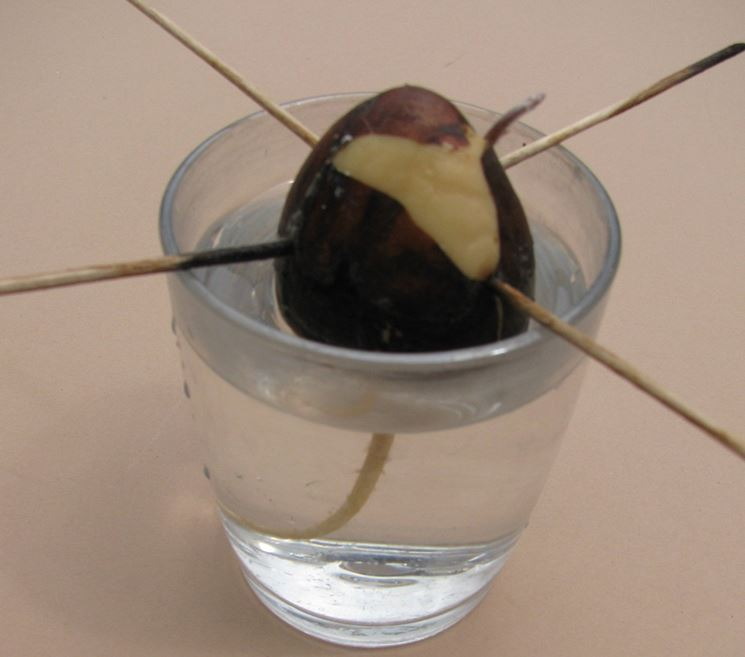 Seme avocado in acqua