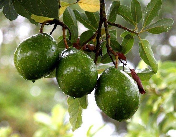 Frutto completo avocado