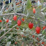 Pianta di Goji e i suoi frutti