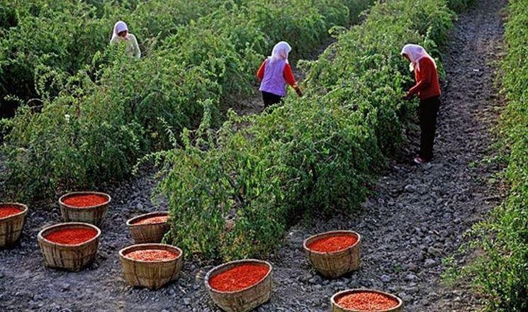 Coltivazione delle piante di Goji