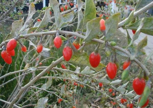 Bacche di goji benefici frutti minori bacche di goji for Coltivazione goji