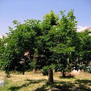 Un albero di Diospyros kaki