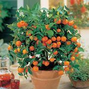 piantagione di arance