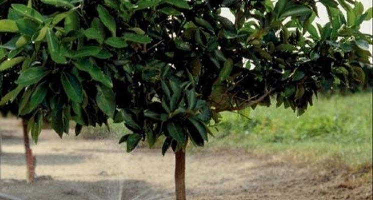 irrigazione di agrumi
