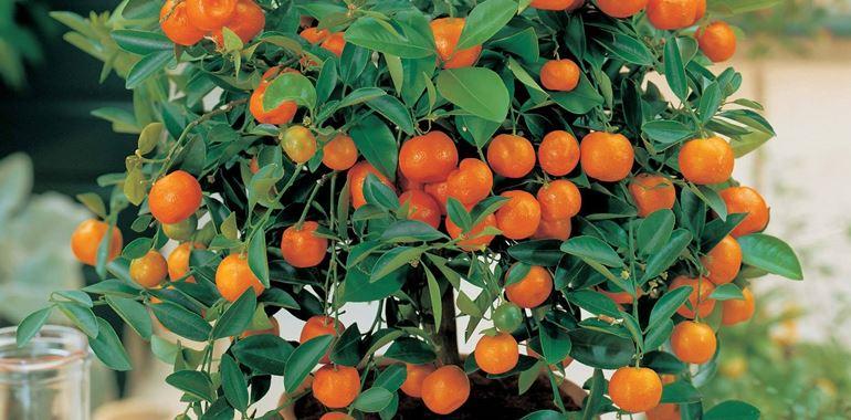 <h6>Coltivazione agrumi</h6>Vuoi ottenere agrumi succosi e saporiti? Segui i nostri consigli e scopri come coltivarli al meglio!