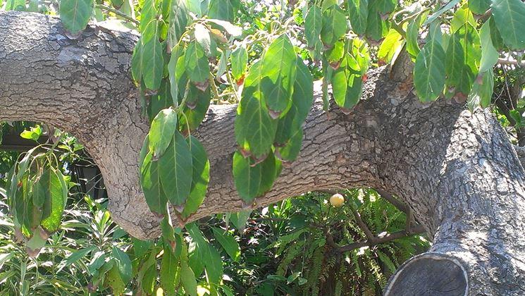 Albero di avocado dopo la coltivazione domestica