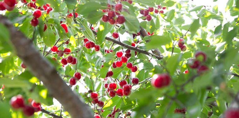 <h6>Coltivazione ciliegio</h6>Vuoi rallegrare il tuo giardino con una pianta da frutto? La scelta migliore � senz'altro il ciliegio capace di ravvivare l�ambiente con il rosso dei suoi frutti!
