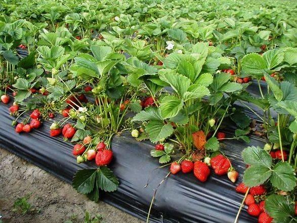 Piante Di Frutti Di Bosco : Coltivazione frutti di bosco minori