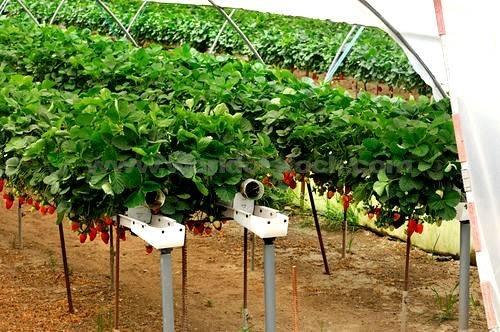 Coltivazione frutti di bosco frutti minori for Piante da sottobosco