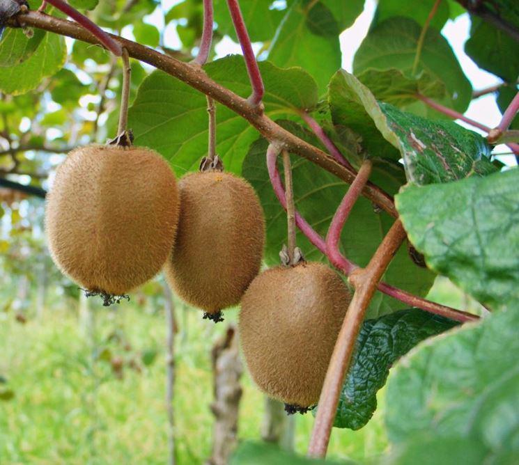 Coltivazione kiwi frutti minori come coltivare kiwi - Compost casalingo ...