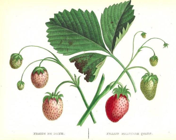 disegno botanico della fragola fragaria