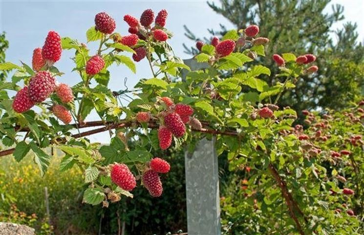 Il lampone si presta bene alla coltivazione dei frutti di bosco