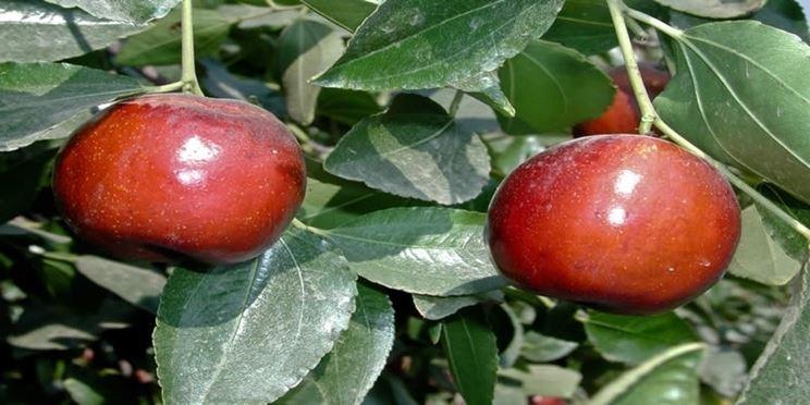 Frutti giuggiolo