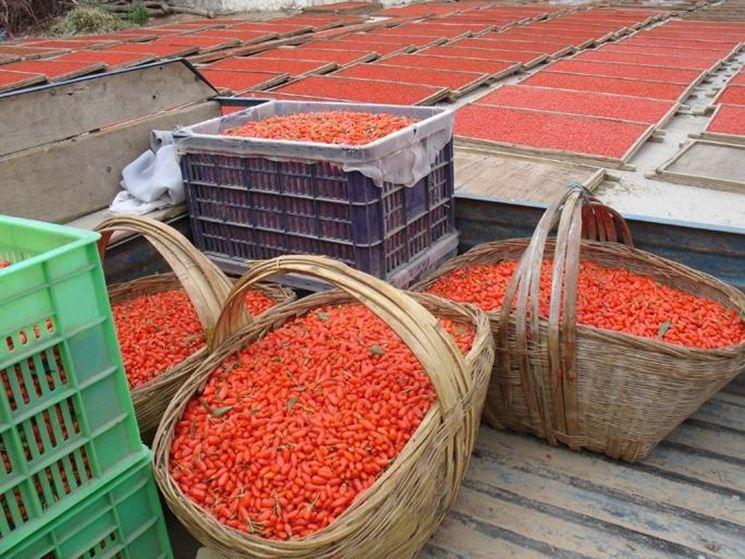 Goji coltivazione frutti minori goji coltivazione for Coltivazione goji