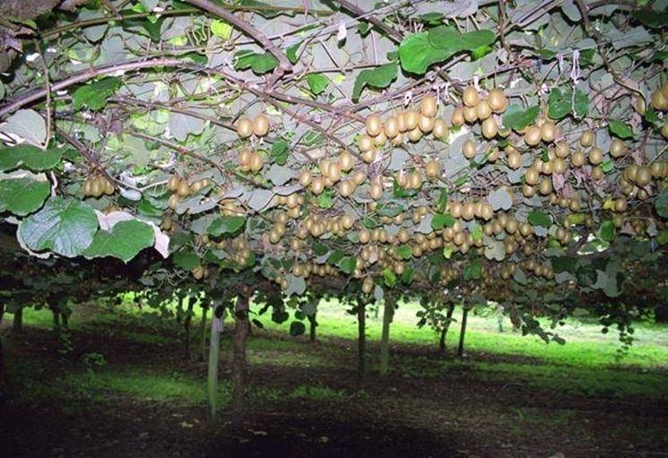 Una coltivazione di kiwi