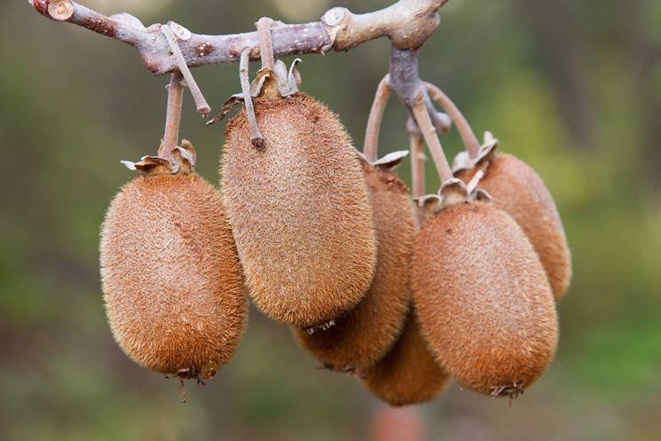Kiwi coltivazione frutti minori come coltivare i kiwi for Pianta kiwi prezzo