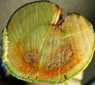 malsecco su ramo di limone