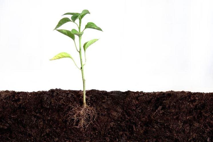 pianta con radici
