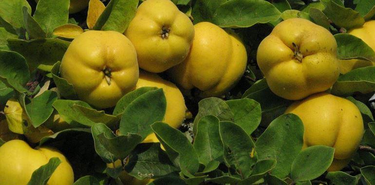<h6>Melo cotogno</h6>Scopri le propriet� del melo cotogno: un frutto spesso dimenticato ma molto utile per creare svariate ricette!