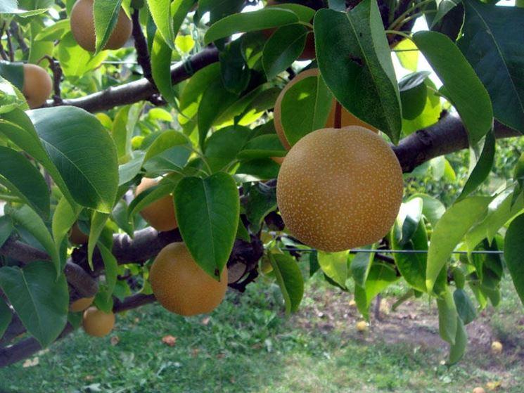 Pianta nashi frutto