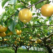 nashi frutto