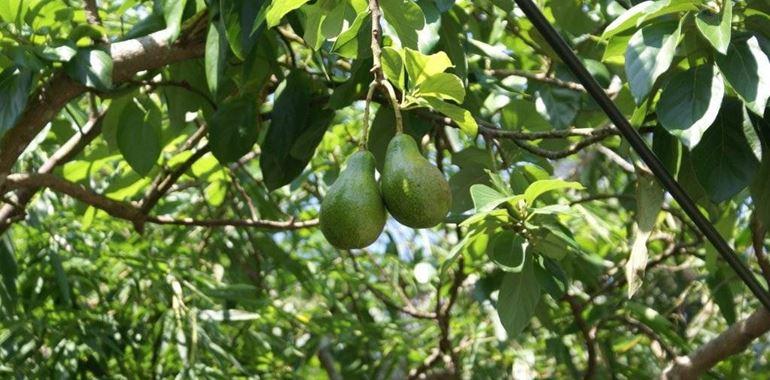 <h6>Pianta avocado</h6>Dall�America Latina, l�avocado � arrivato anche in Italia ed � oggi un frutto comunemente impiegato per realizzare pietanze differenti. Scopri variet� e caratteristiche del frutto