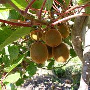 Ramo di kiwi