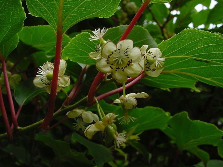 Pianta di kiwi in fiore