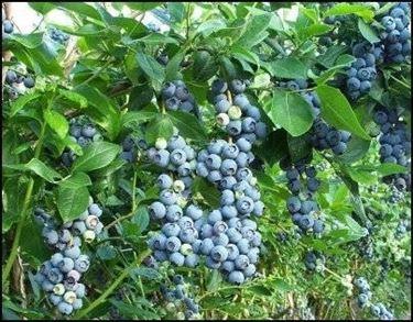 Coltivazione di piante del mirtillo