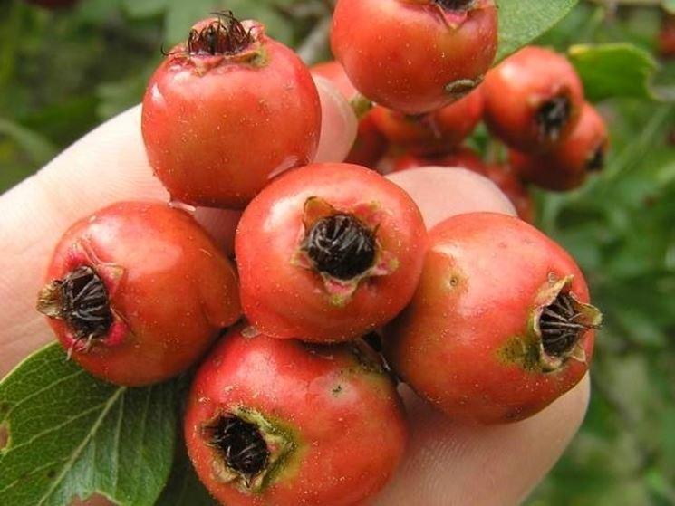 I piccoli frutti dell'azzeruolo