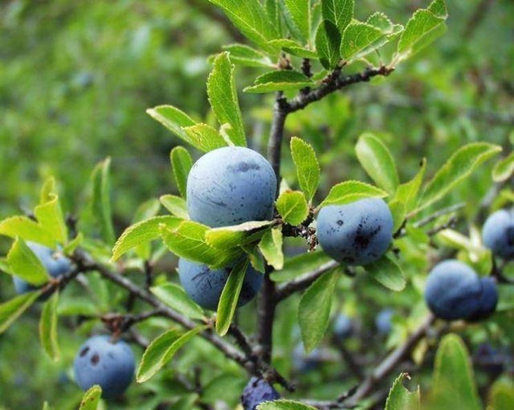 Piante di frutta piante di frutta frutti minori for Piante da frutta nane prezzi