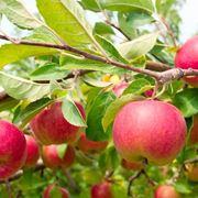 L'albero delle mele, la frutta per eccellenza