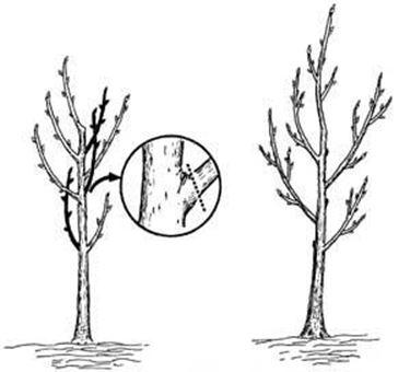 Esempio di potatura di ramo
