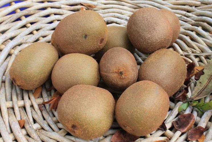 Raccolta kiwi: bisogna prestare attenzione a non rovinare la pianta