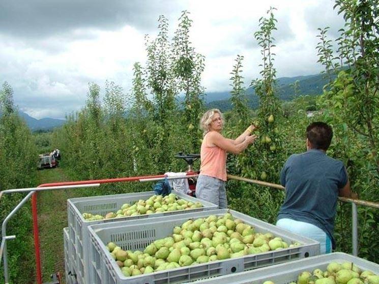 raccolta mele