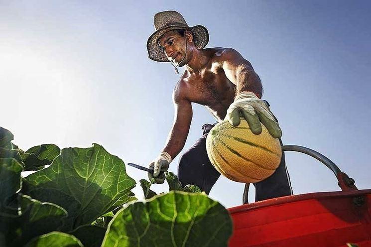 raccolta meloni