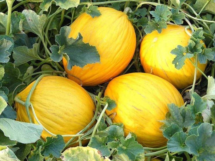 varietà di meloni