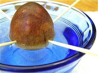 Semi di avocado