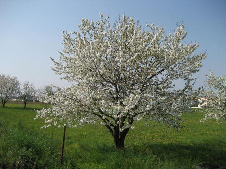 Un esemplare di ciliegio in fioritura