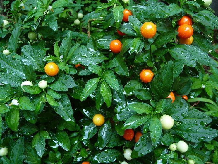 Alchechengi in fase vegetativa