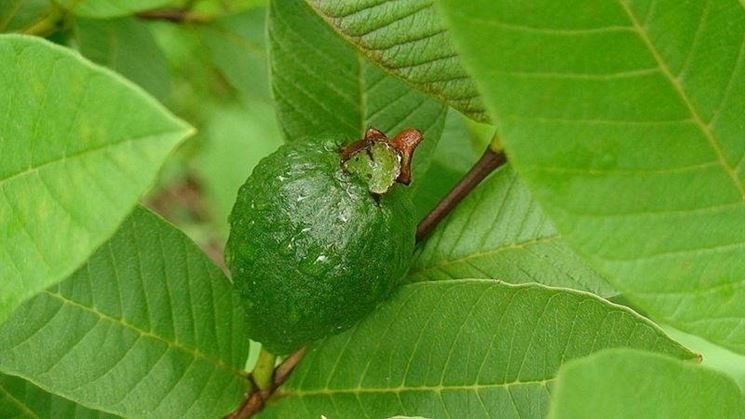 Foglia di guava