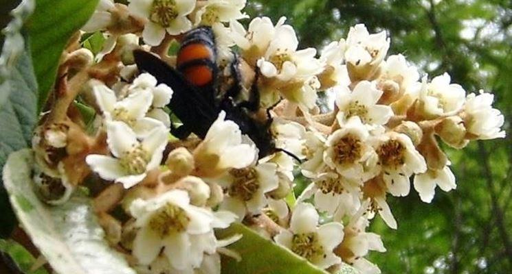 Nespolo in fiore