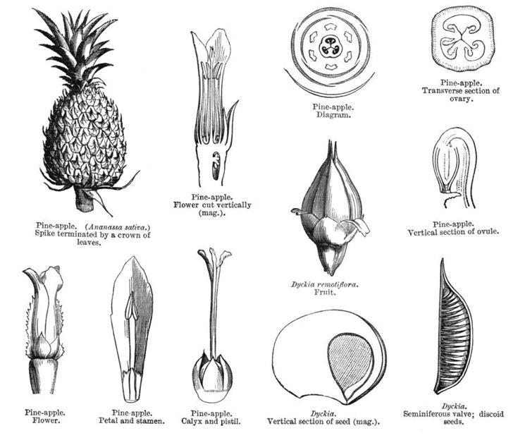 Unos studio legato al frutto dell'ananas, del 1930