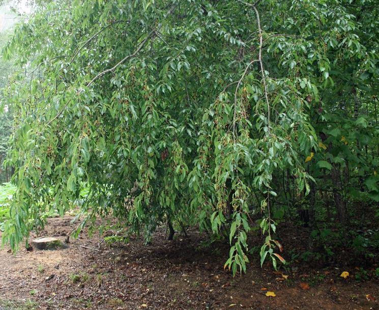 Chioma albero amareno