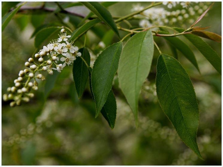 Foglie pianta amarene