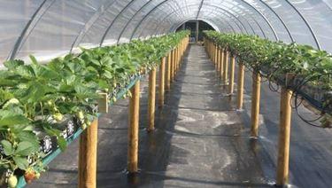 coltivazione delle fragole in serra.