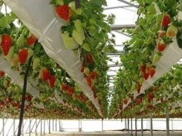 Coltivazione sospesa per la raccolta delle fragole.