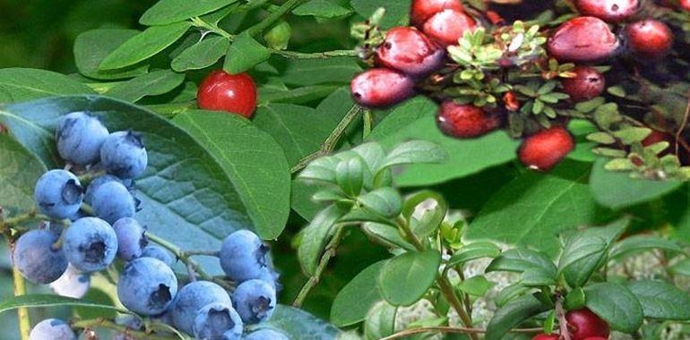 <h6>Coltivazione mirtilli</h6>Questi piccoli e deliziosi frutti scuri potranno crescere anche nel tuo giardino, seguendo i nostri preziosi consigli.